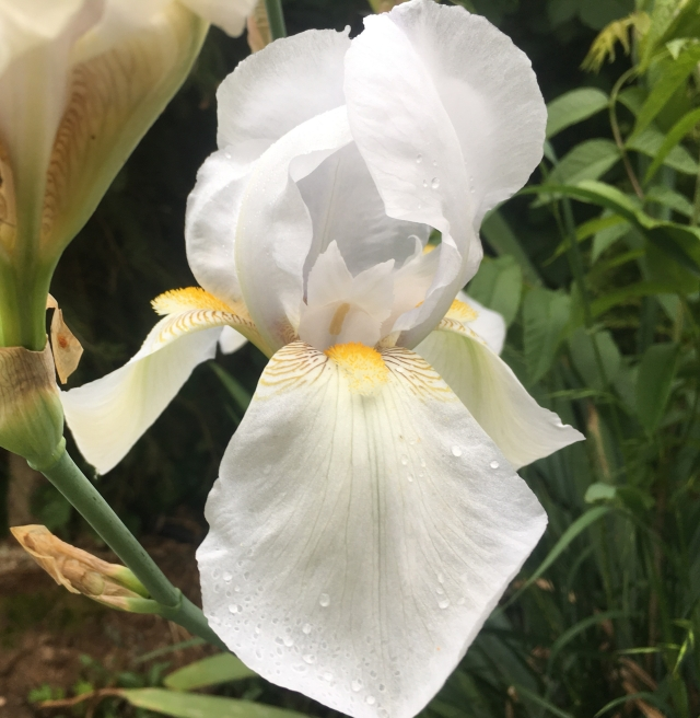 White Iris for blog