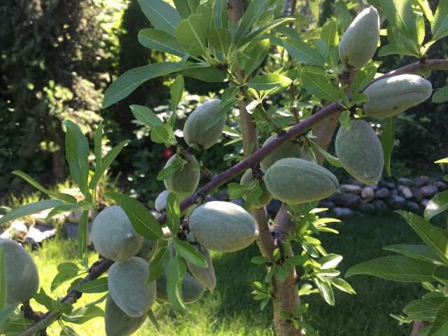 Almost ready almonds